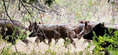 wild-hogs-running-631